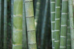 Bambus šťastia v interiéri. Aký vybrať a ako na jeho pestovanie